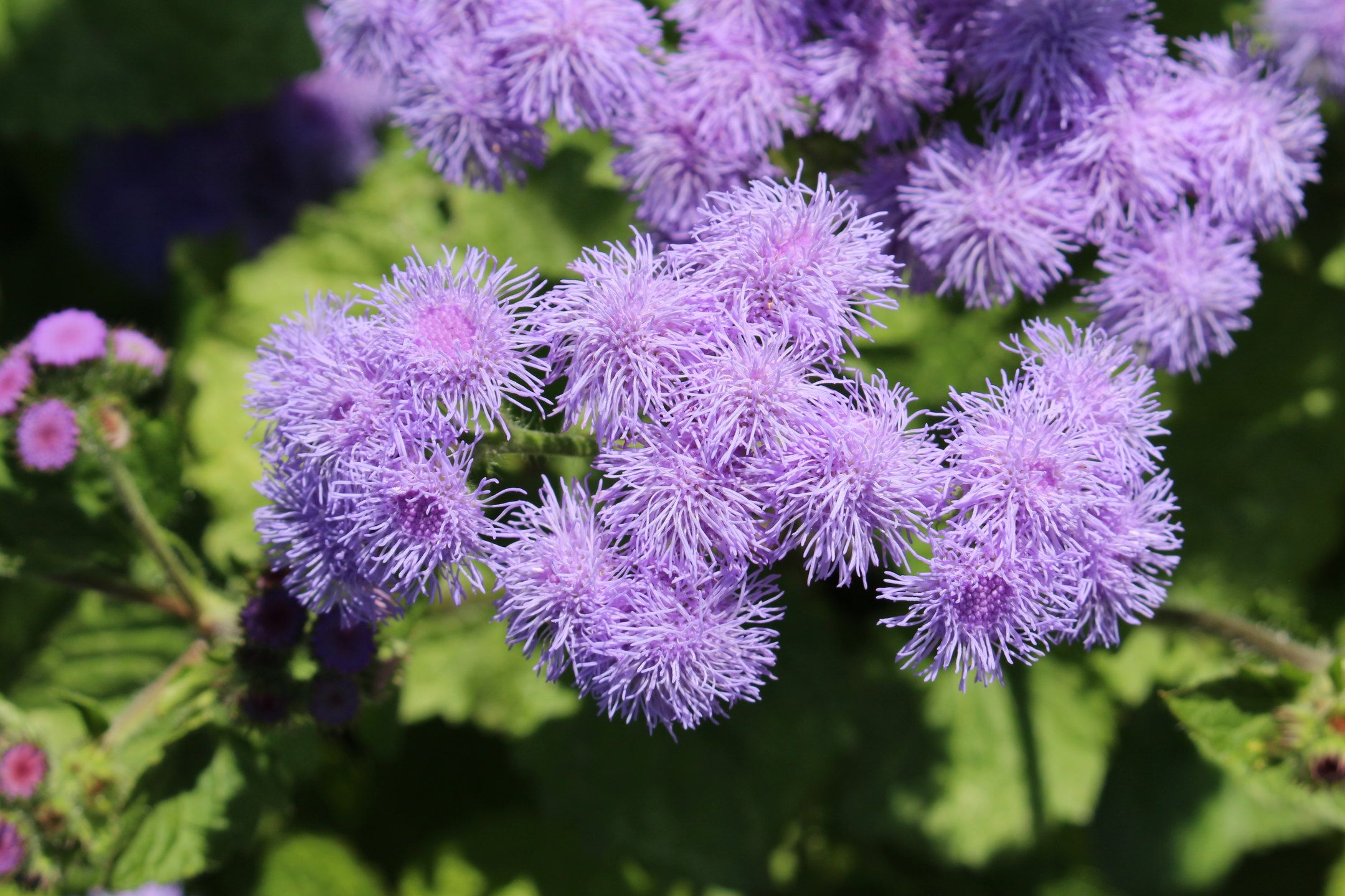 Bluemink Garden Blooming Floss Flowers In 2020 Annual Flowers Flower Seeds Organic Plants