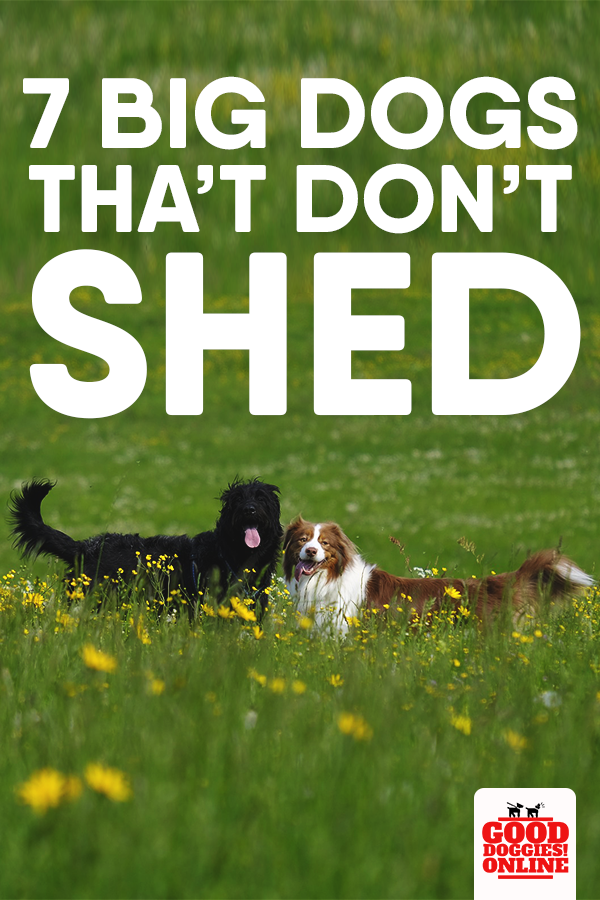 Large Dog Breeds That Don T Shed 7 Non Shedding Dogs Good Doggies Online In 2020 Dog Breeds That Dont Shed Big Dogs Big Dog Breeds