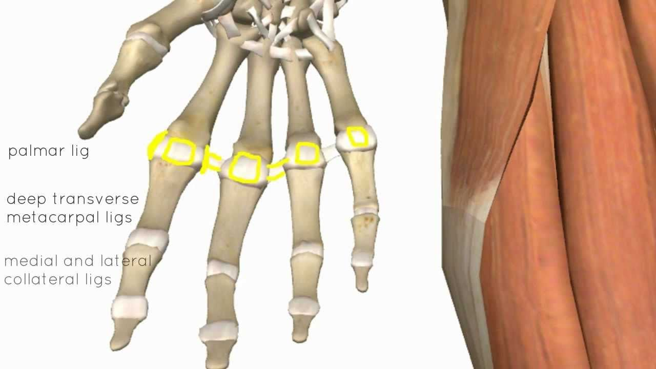Wrist and Hand Joints - 3D Anatomy Tutorial | Anatomy,pain relief ...
