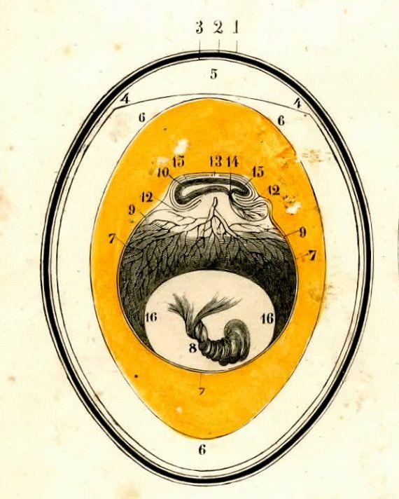 1852 Egg Anatomy Original Antique Print No 2 Inspiration