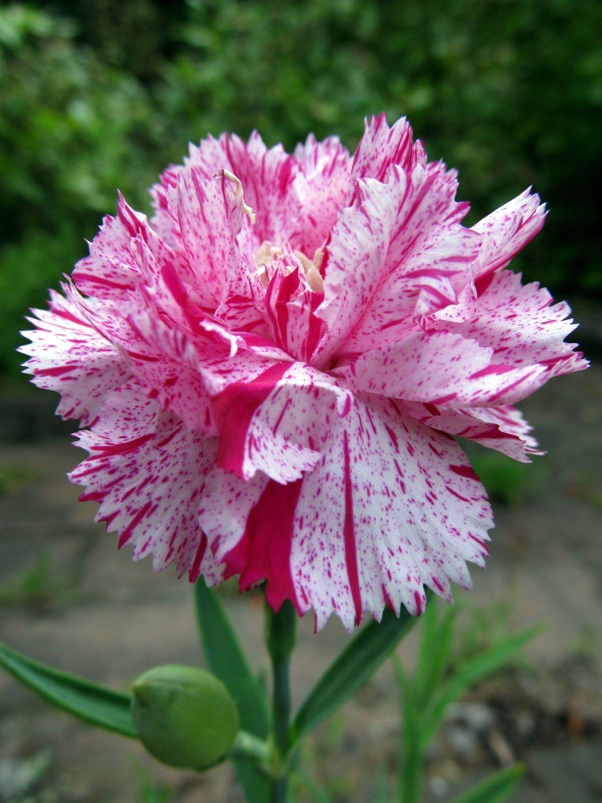 Red And White Striped Carnations Means A Refusal Fiori Rosa Fiori Rari Fiori