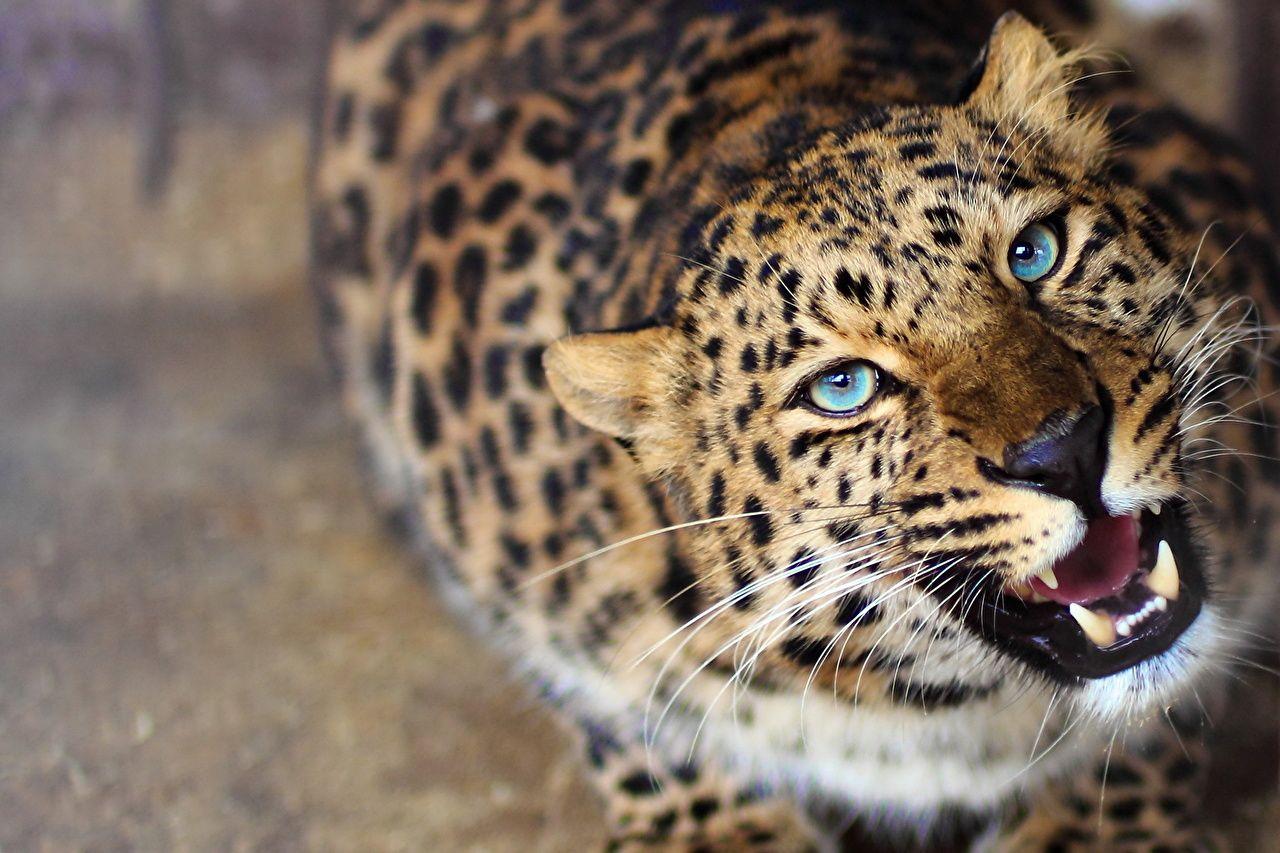 Обои леопард, Кошка, морда. Кошки foto 9