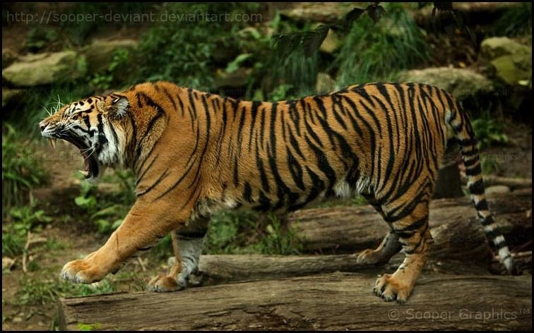 Facebook Tiger Photography Sumatran Tiger Animals