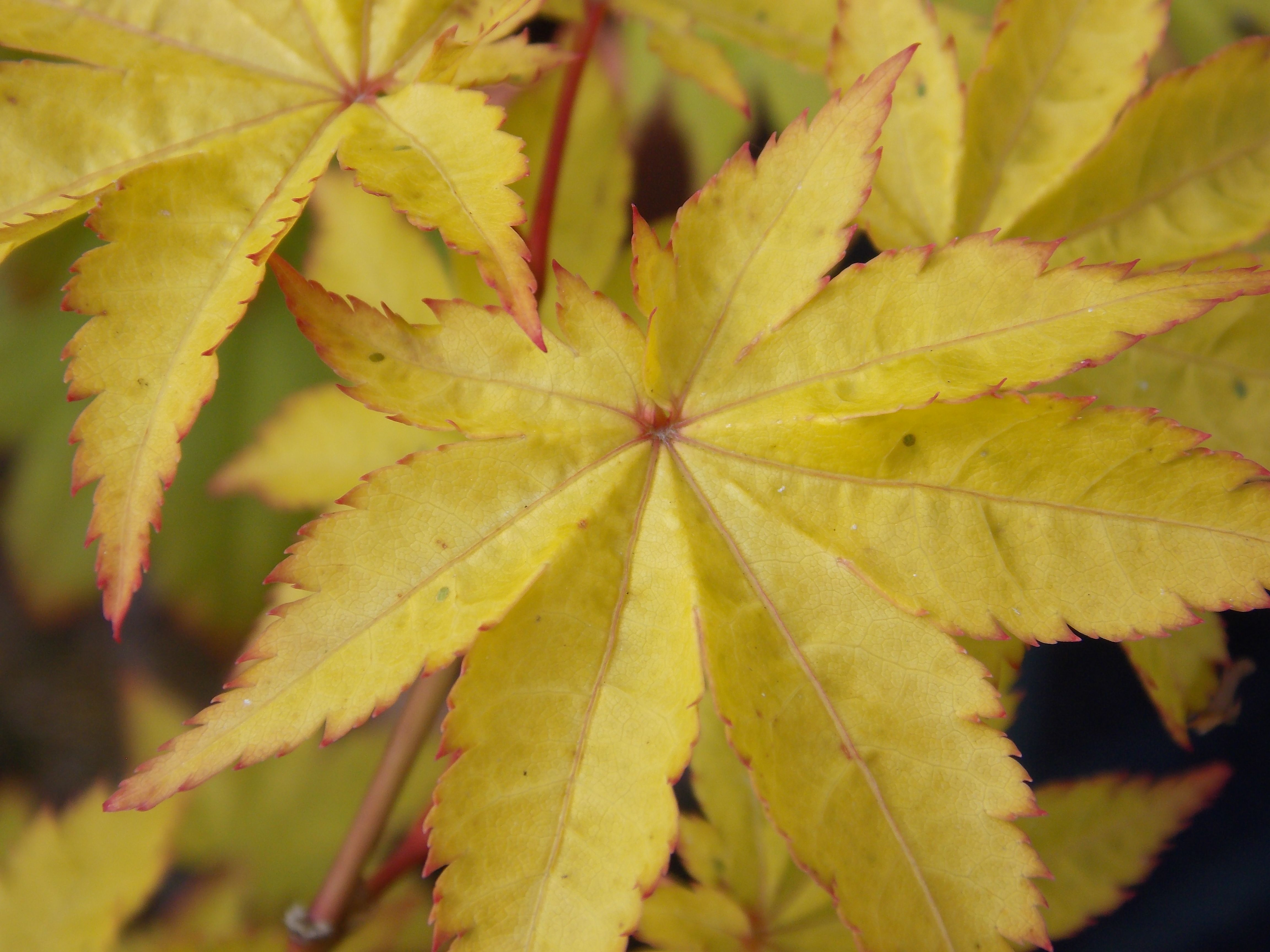 The yellow leaves from the Japanese Maple Acer palmatum