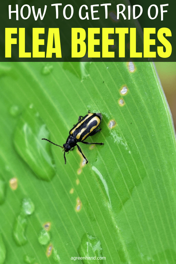 1e8326b7fade1a18dfec563ffede1e9d - How To Get Rid Of Flea Beetles On Potato Plants