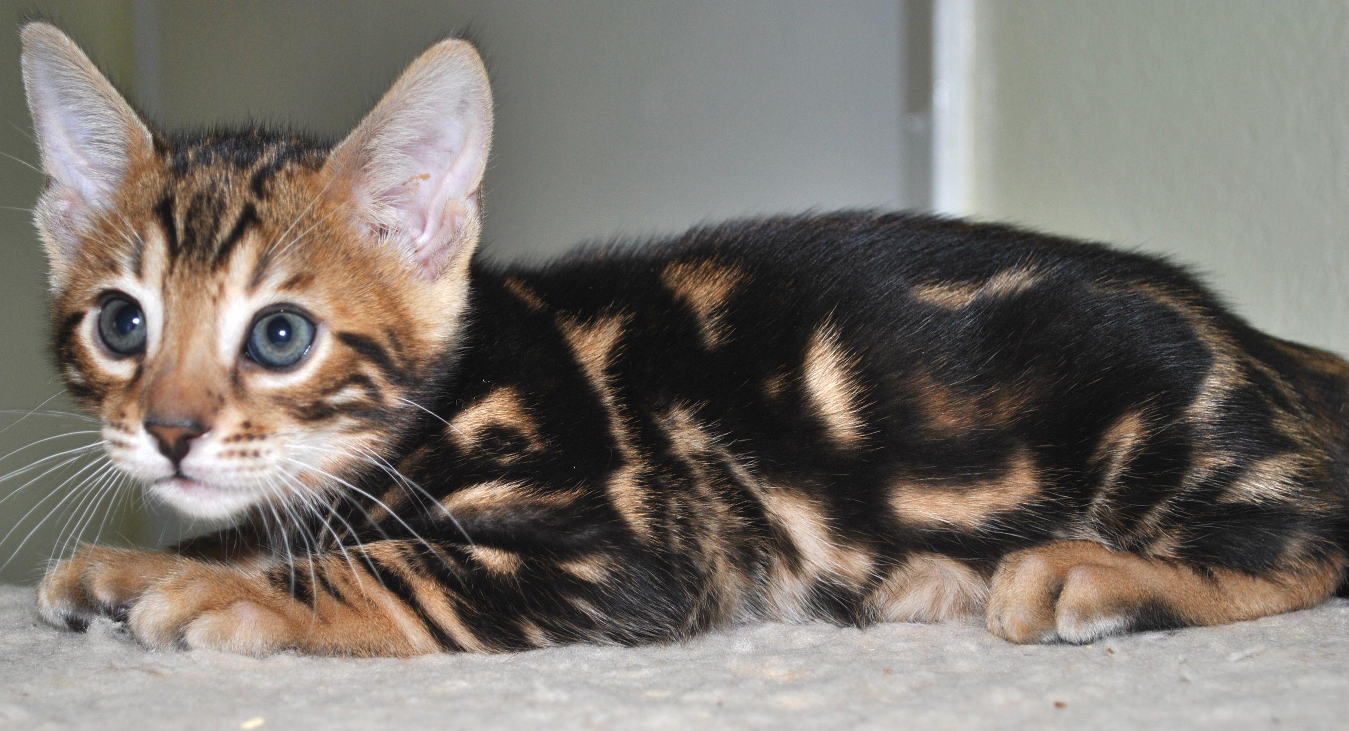 Marble Bengal Kitten Bengal Kitten Bengal Cat Asian Leopard Cat