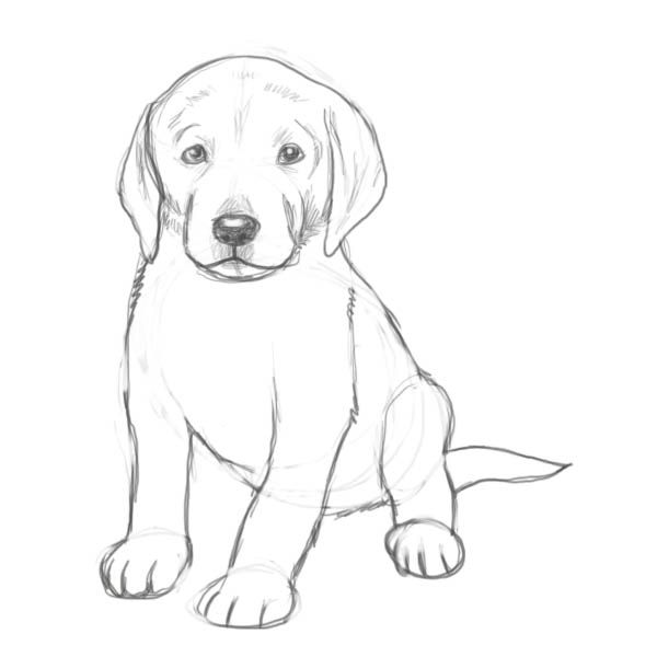 Line Drawing Golden Retriever : How to draw a puppy drawing factory awe pinterest
