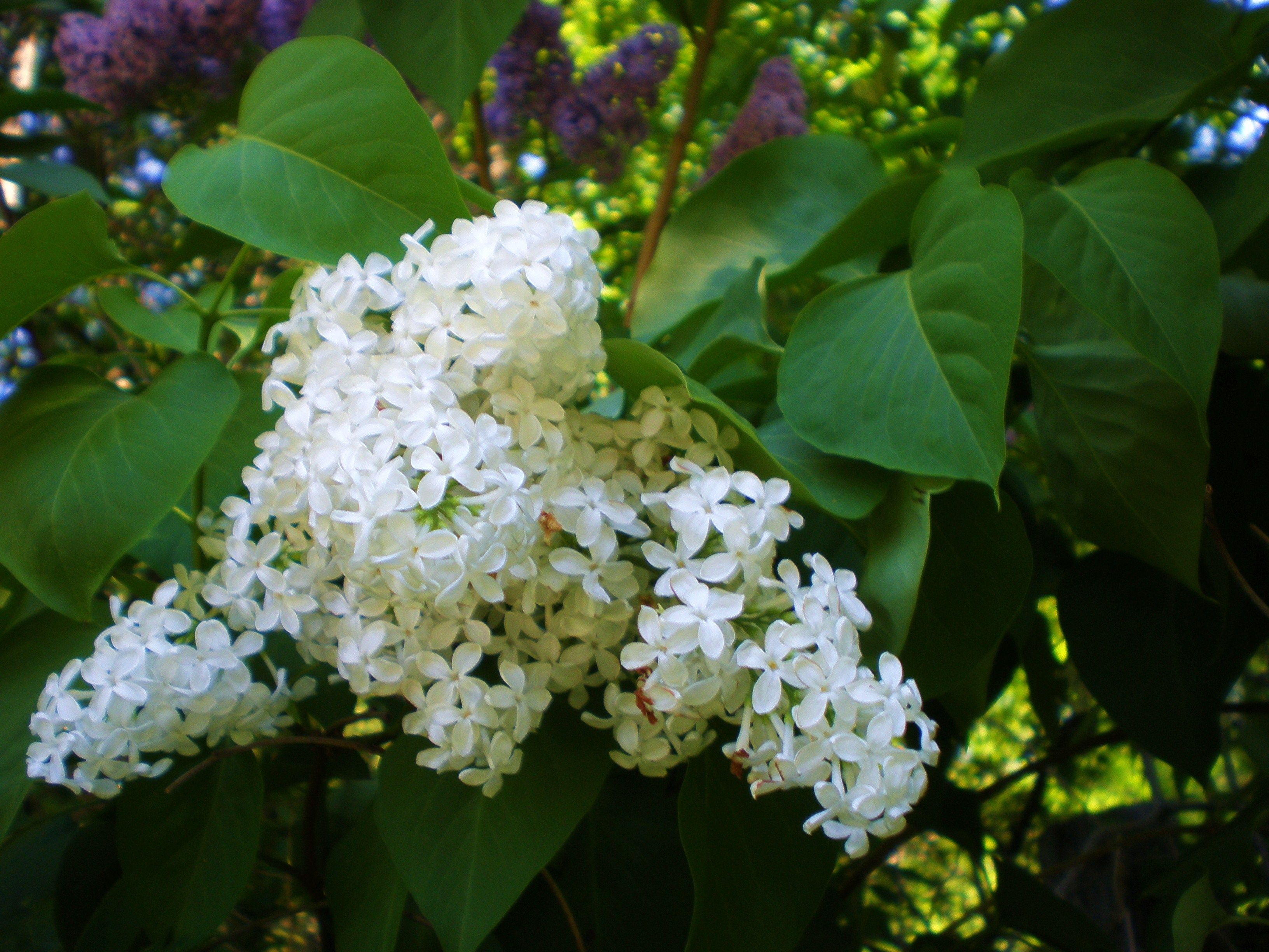 Lovely Lilacs Sweet Morning Fragrances Lilac Backyard Flowers Lilac Bushes