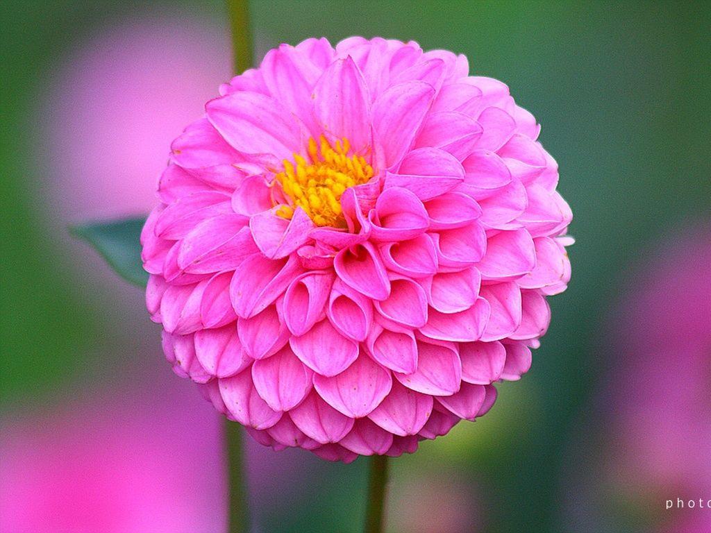 Felt Dahlia Flowers