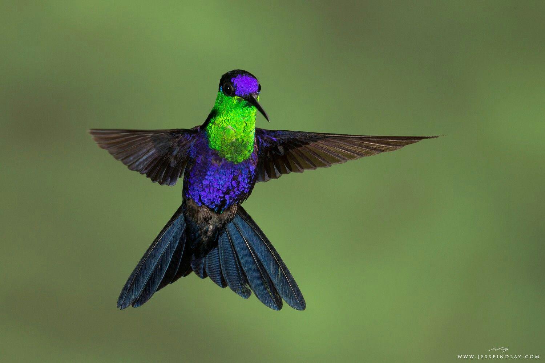 Crowned Woodnymph Hummingbird Hummingbird, Pet birds