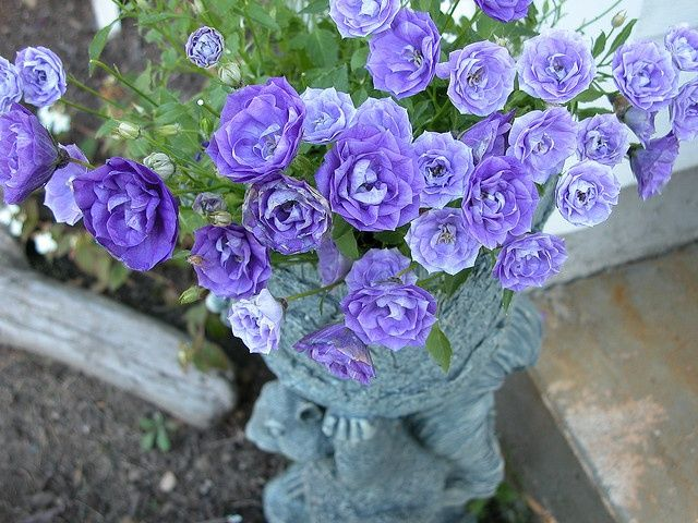 Blue Rose Campanula Pretty Double Bellflowers Look Almost Like Blue Roses Close Up Blooming Plants Blue Garden Flowers