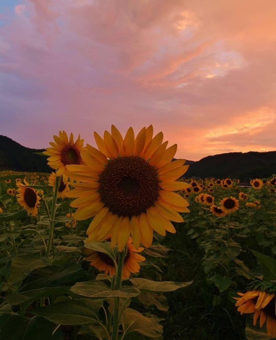 Sunflowers Sunflower Sky Sun Sunset Orange Nature Beautiful Sunshine Soulmate Vibes Aesthetic Nature Flower Background Iphone Sunflower Painting