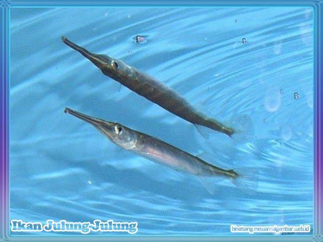 Download 67+ Gambar Ikan Julung Julung Paling Bagus Gratis