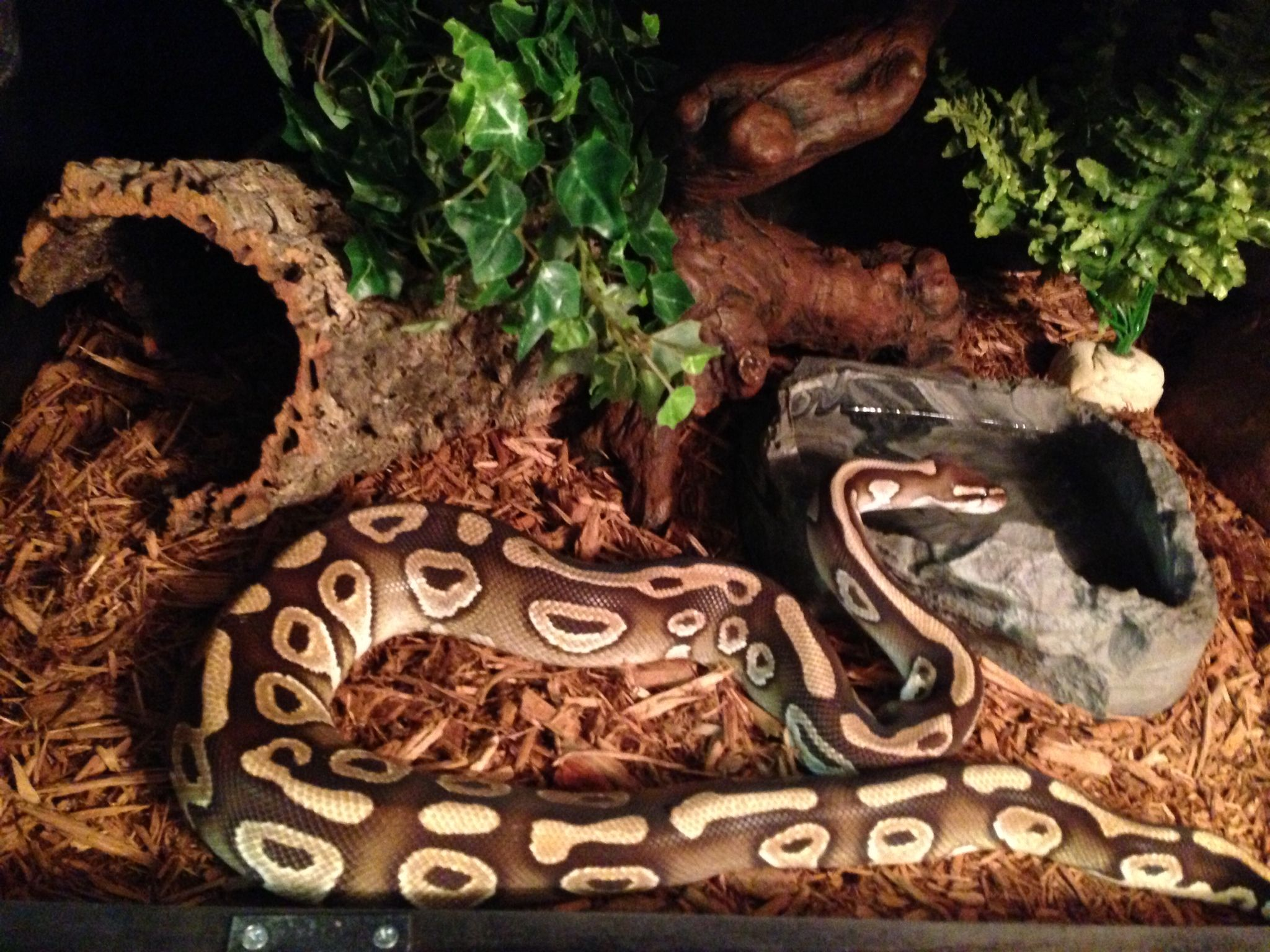 Indy, the Mojave Ball Python #snake #python #mojave #BallPython ...