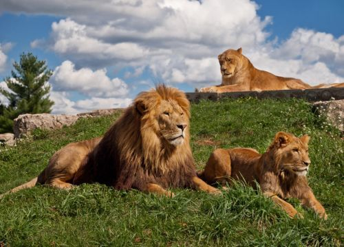 4b648ed4 African Lion Safari | Animals & Zoos in Ontario | Lion family, Lion ...