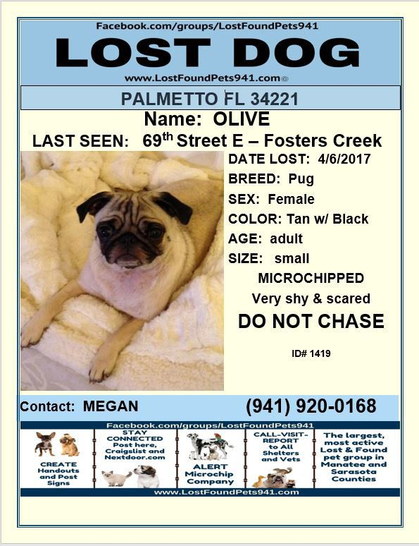 Have You Seen Olive Lost Dog Pug Please Rt Lostpetservices