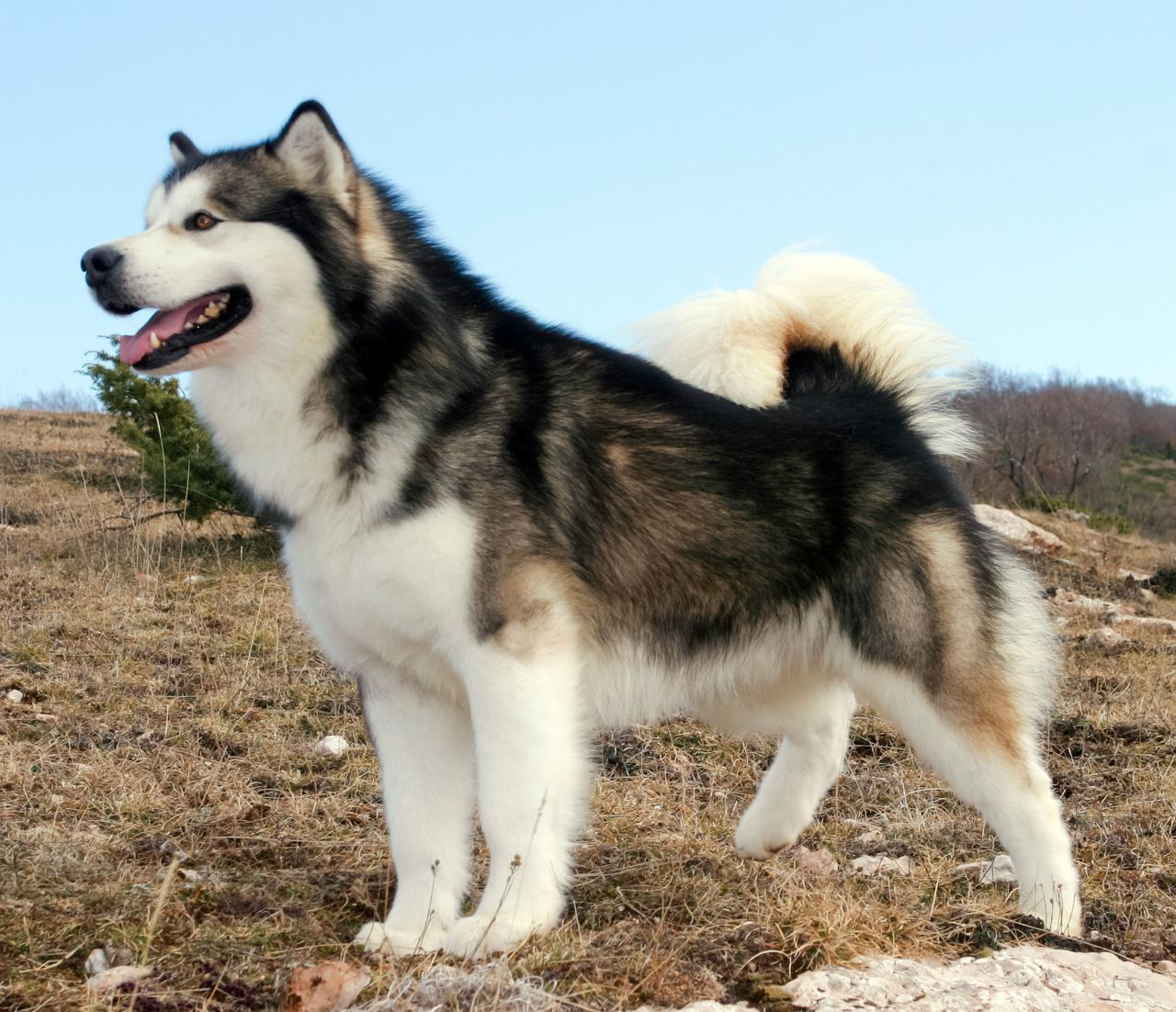 The Alaskan Malamute Things To Know 2018 Big Fluffy Dogs