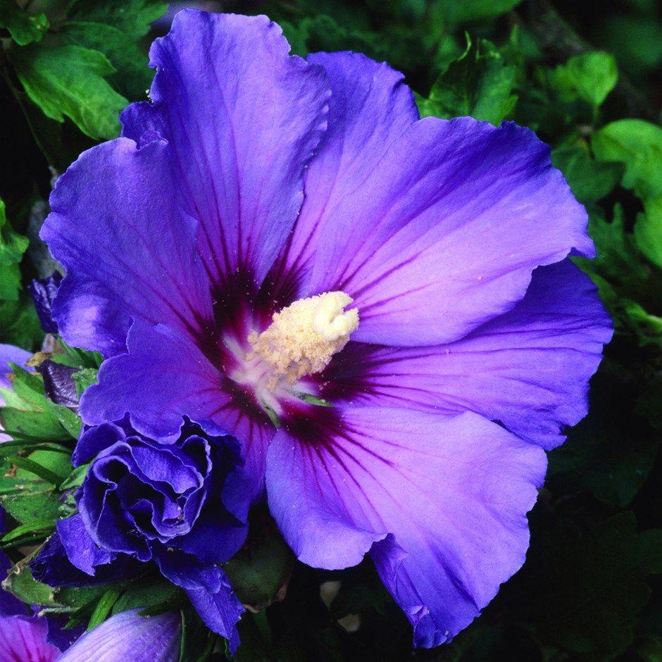 Tree hollyhock syn blue bird flowers pinterest hibiscus blue bird hibiscus image watercolor flowers purple garden izmirmasajfo