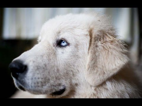 Dogs 101 Great Pyrenees In Hd Great Pyrenees Top Dog