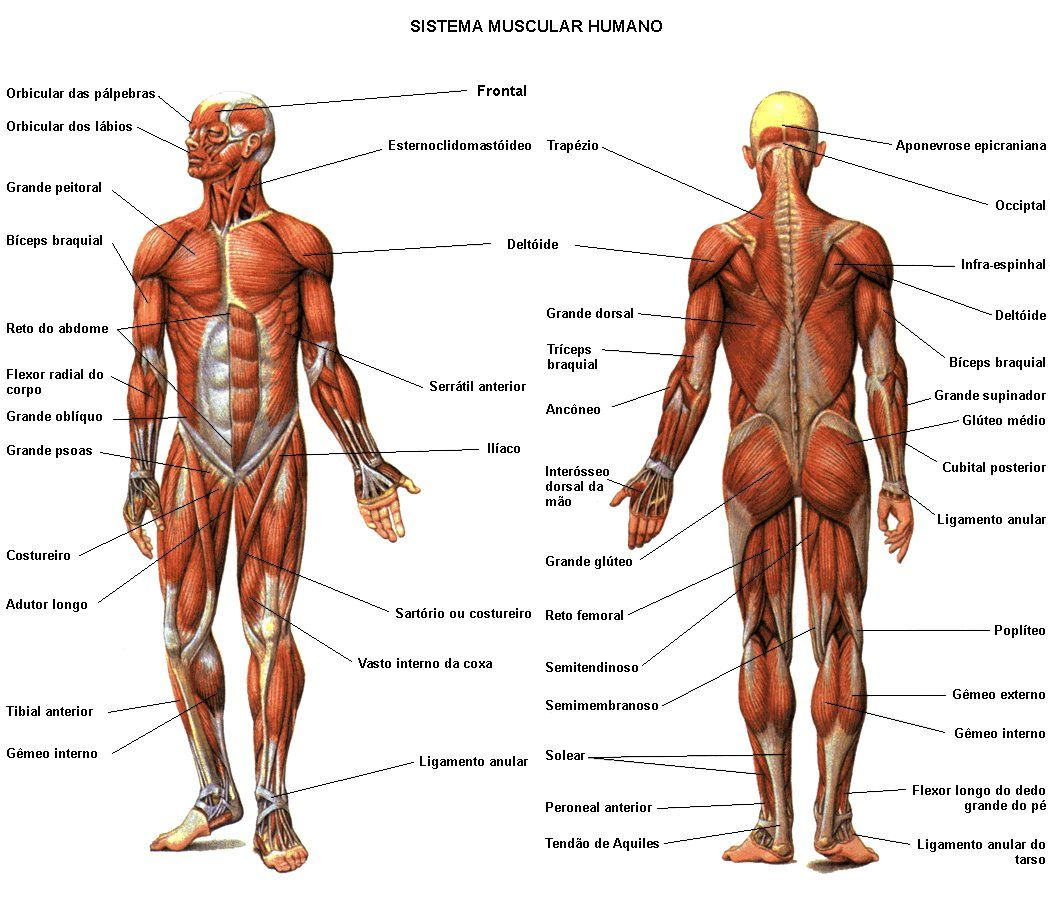Human anatomy model for artists Google Search t