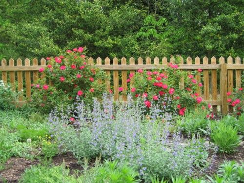Front Yard Cottage Garden. Shrub Roses And A Picket Fence Make A Great  Backdrop For