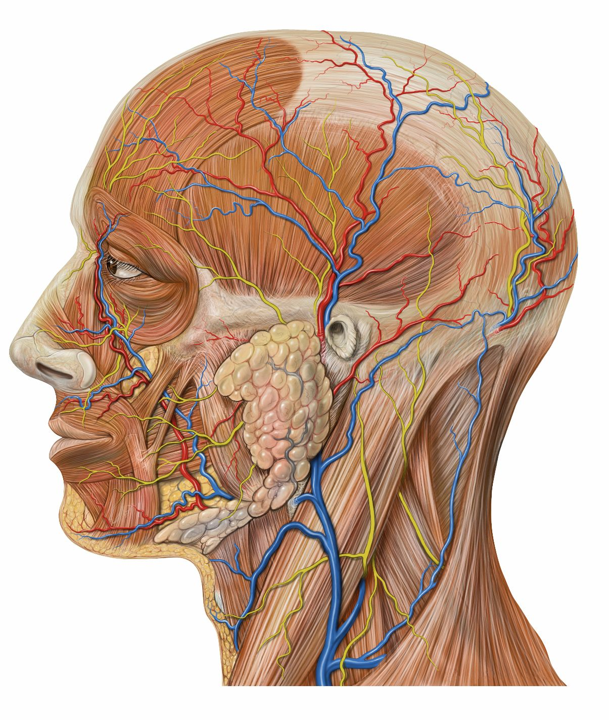 lateral view of head, circulatory, muscle, glands | Cancer ...