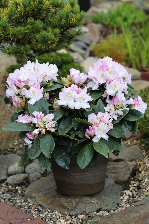 Rhododendron Gomer Waterer Inkarho Pflanze