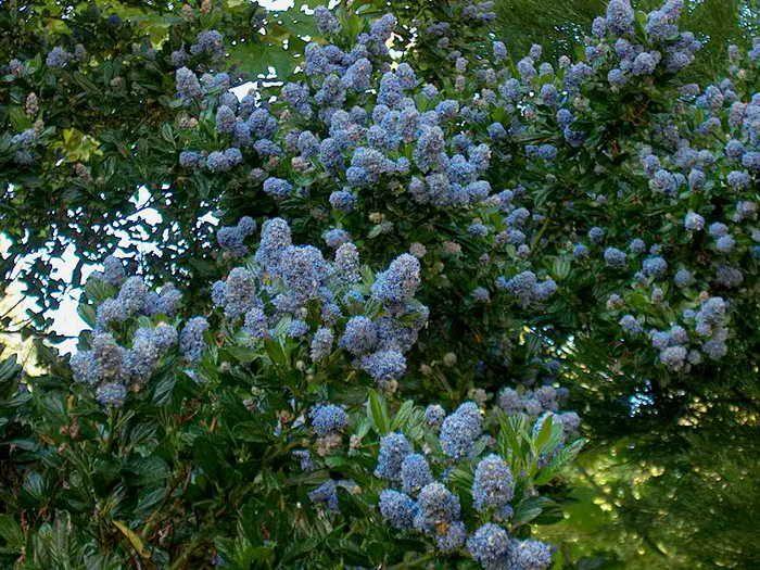 Ceanothus blue pacific californian lilac is an for Blue flowering bush