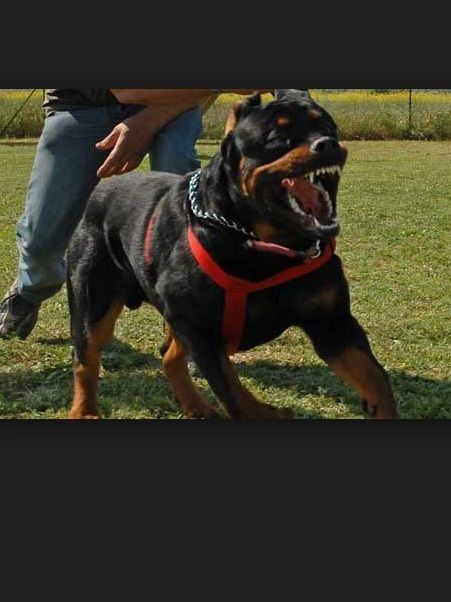 Me Mad Protection Dog Training Family Protection Dogs Guard