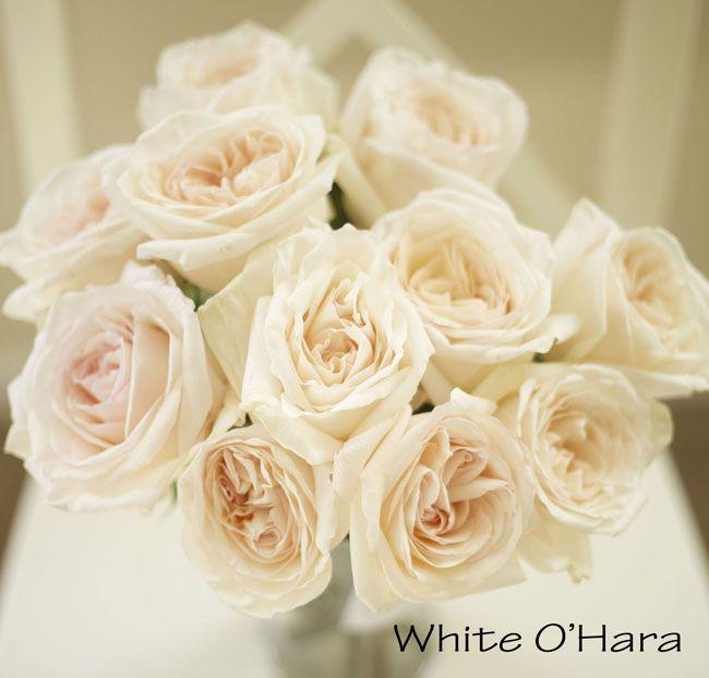 White Ou0027Hara Garden Rose, A Blush Pink Cream Large Rose