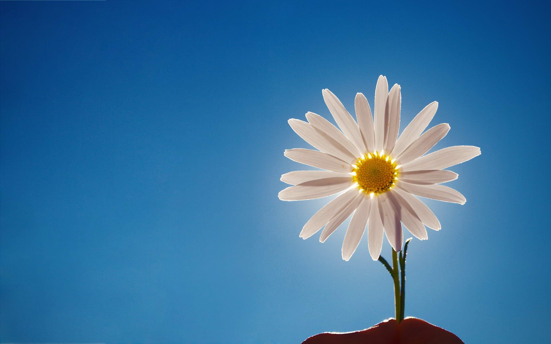 Image Detail for Daisy, web, background, wallpapers