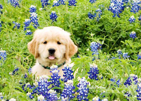 Saracen Golden Retrievers Cypress Texas Perros Animales Fotos