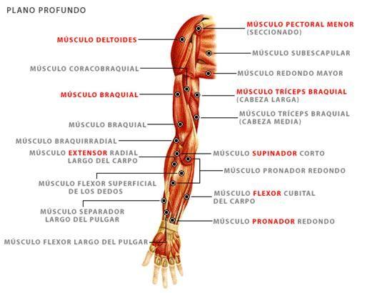 supinador brazo - Google Search | ANATOMIA | Pinterest | Anatomía ...