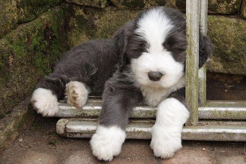 Sweet Little Beardie Bearded Collie Bearded Collie Puppies Puppies