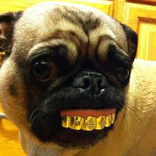 Silly Pug Pic Funny Pug Braces On Teeth Pugs Funny Cute