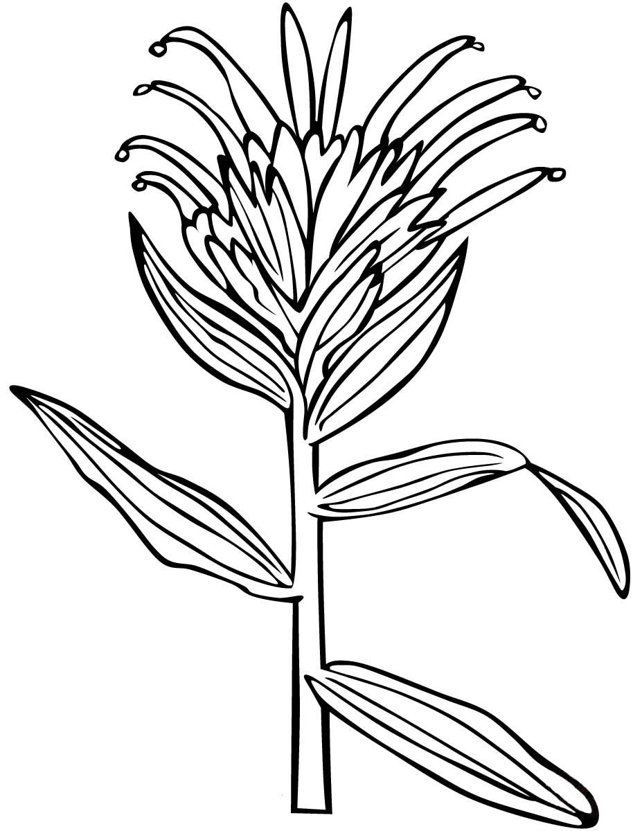 Giant Red Indian Paintbrush Coloring Page Desenho De Giant Red