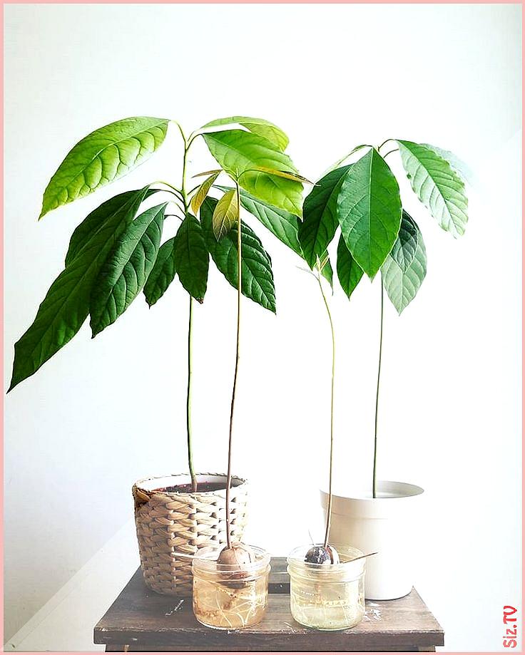 Avocadobaum  Ich LIEBE Pflanzen  Avocado Liebe Pflanzen Baum Hobbies and Interests  Avocado Avocado