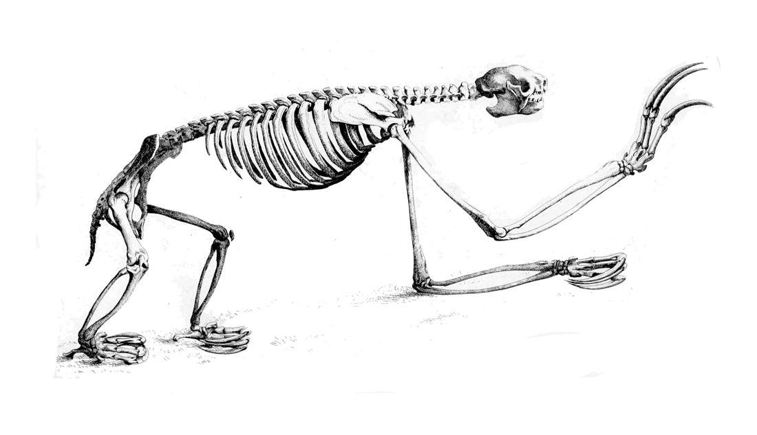 Bradypus tridactylus skull - Pale-throated sloth - Wikipedia, the ...