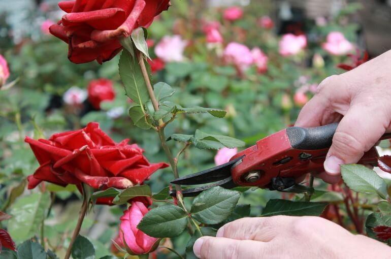 арамильские теплицы цветы розы