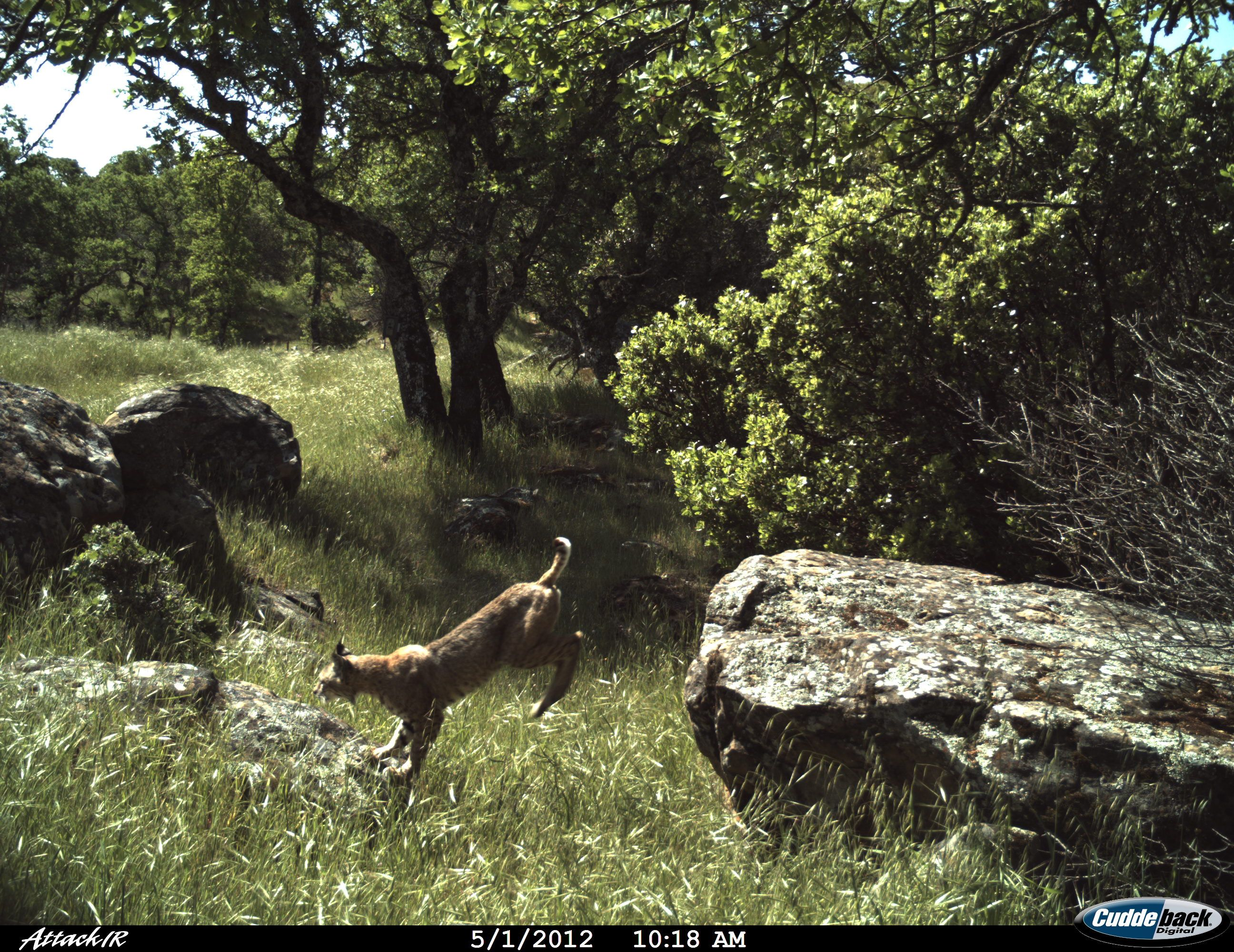 Remote Camera Photo of the Week!    Every Friday, we post a photo from our remote camera research database from the Bay Area Puma Project and from photos shared with us.    To submit a photo for Photo of the Week, email info@felidaefund.org! If your photo is chosen, we will send you tickets to the San Francisco Zoo OR a Bay Area Puma Project water bottle.    This week's photo is - Bobcat in Flight in the East San Francisco Bay Area, California
