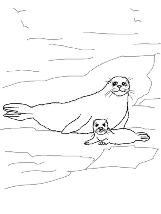 printable coloring page of harp seal for kids