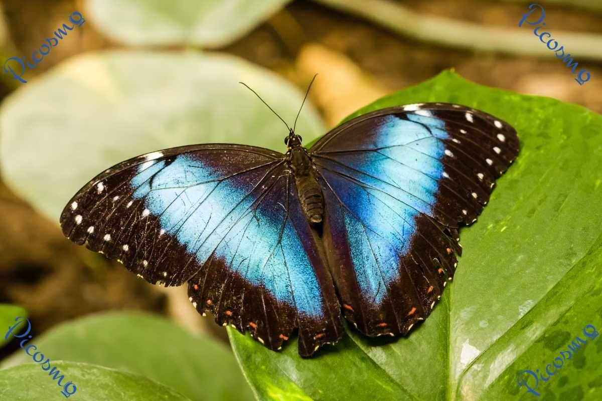 Picosmo Com Ein Blauer Morphofalter Tiere Tropischer Regenwald Regenwalder Sudamerika