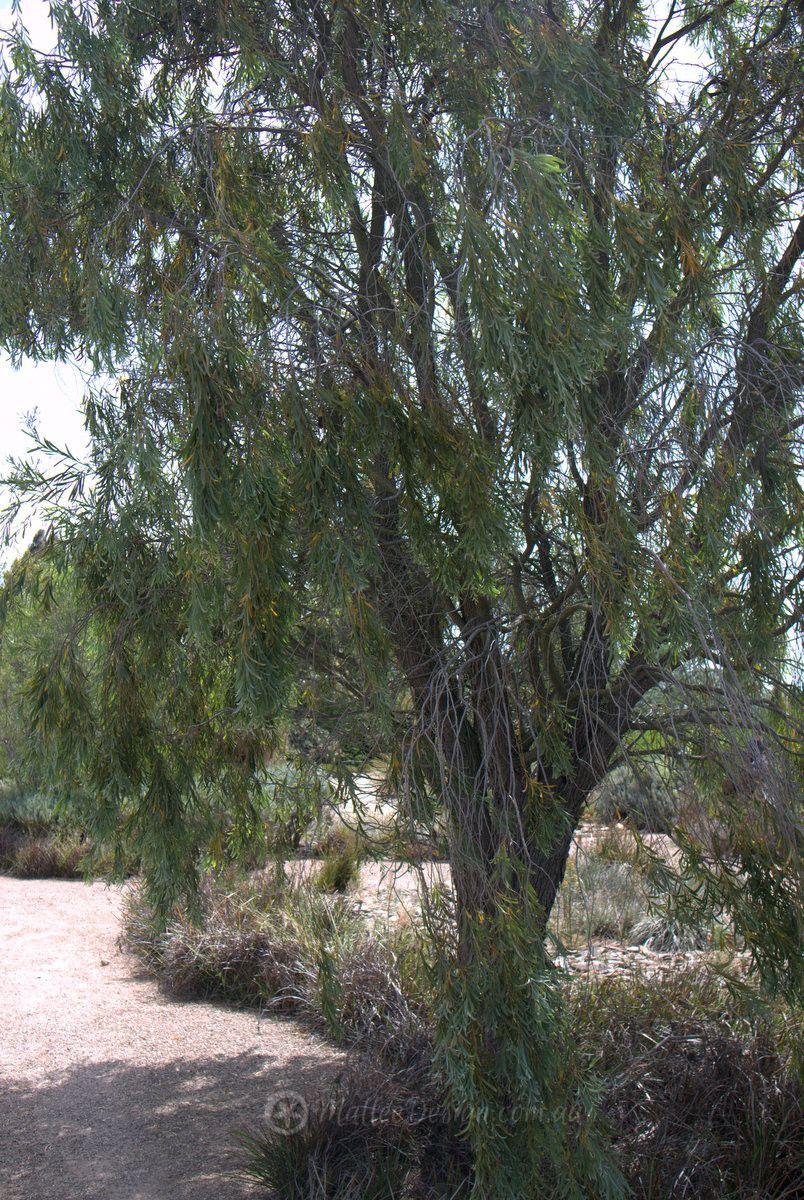 The Long Lived Acacia Pendula Rm Trees Bushes Australian