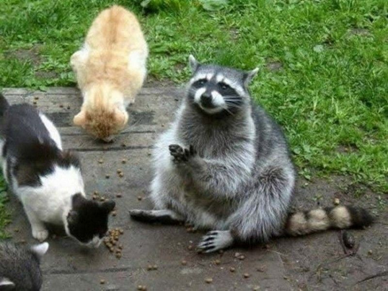 Raccoon and its cat friends eating fodder. In this image