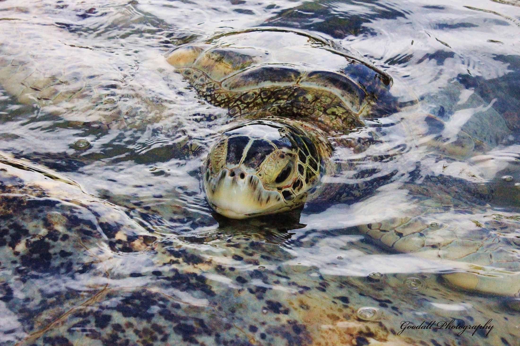 Green Sea Turtle / Cayman Turtle Farm / Grand Cayman Island / June 2013 https://www.facebook.com/goodallphoto
