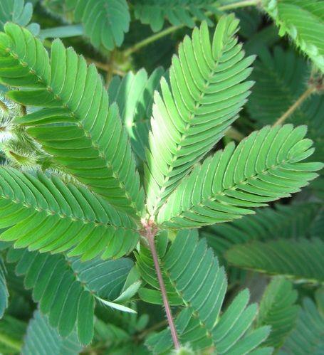 Tanaman Putri Malu Sensitive Plant Tanaman Obat Kebun Herbal Tanaman