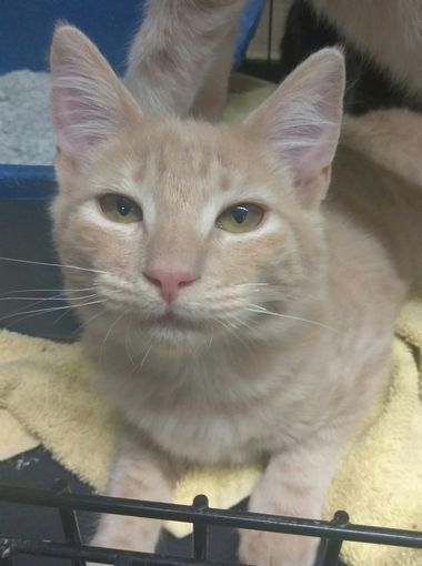 Taylor Is A 5 Month Old Female Kitten She Is One Of Our Special Needs Cats She Has A Neurological Disorder That Affects He Animal Welfare League Pets Animals
