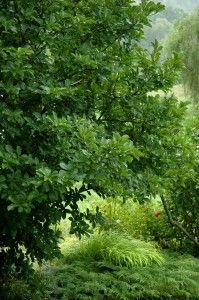Magnolia's glossy summer foliage in A Garden For All by Kathy Diemer http://agardenforall.com