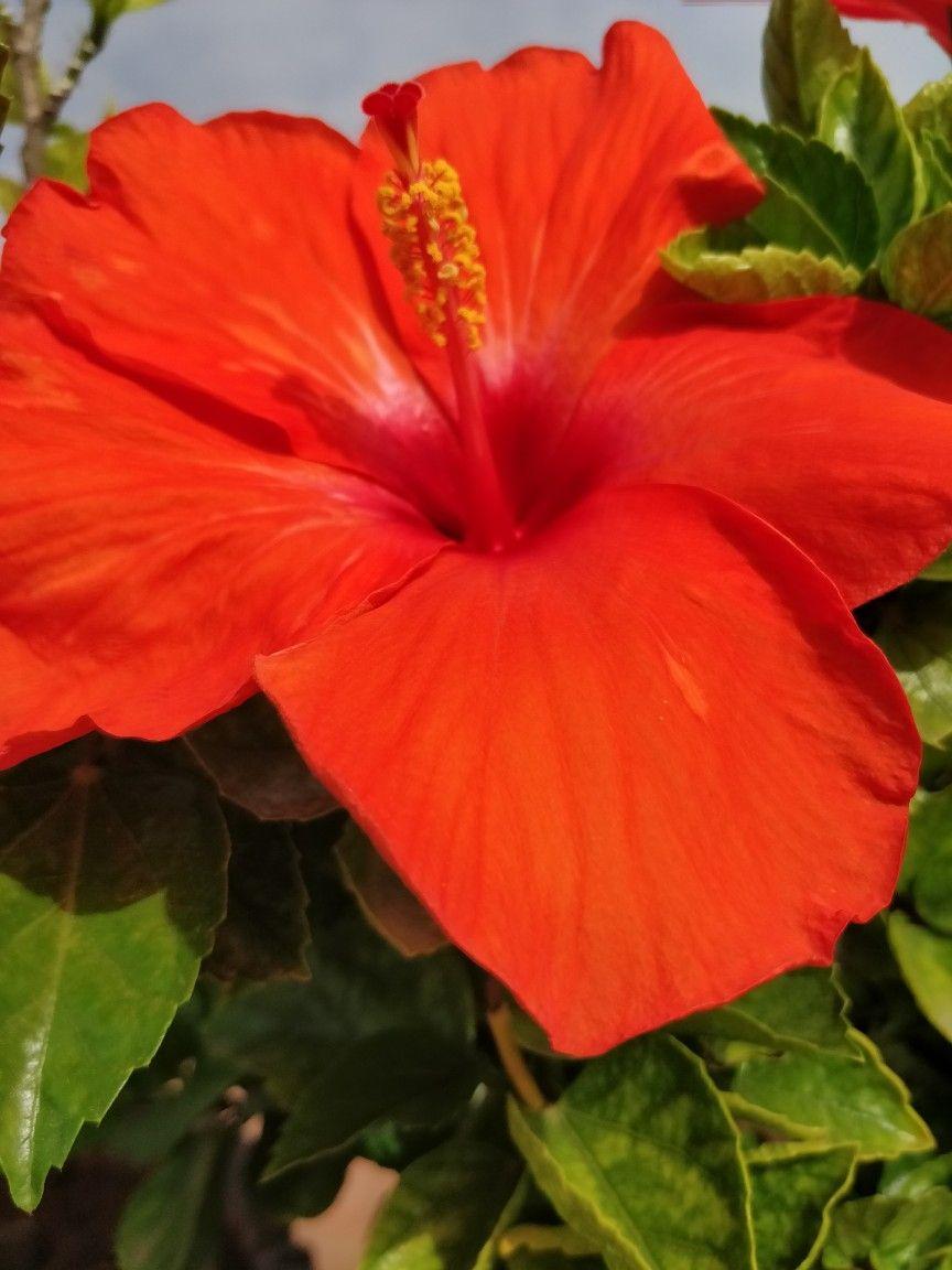 Bright Orange Coloured Hybrid Hibiscus Flower Flowers Hibiscus Flowers Hibiscus