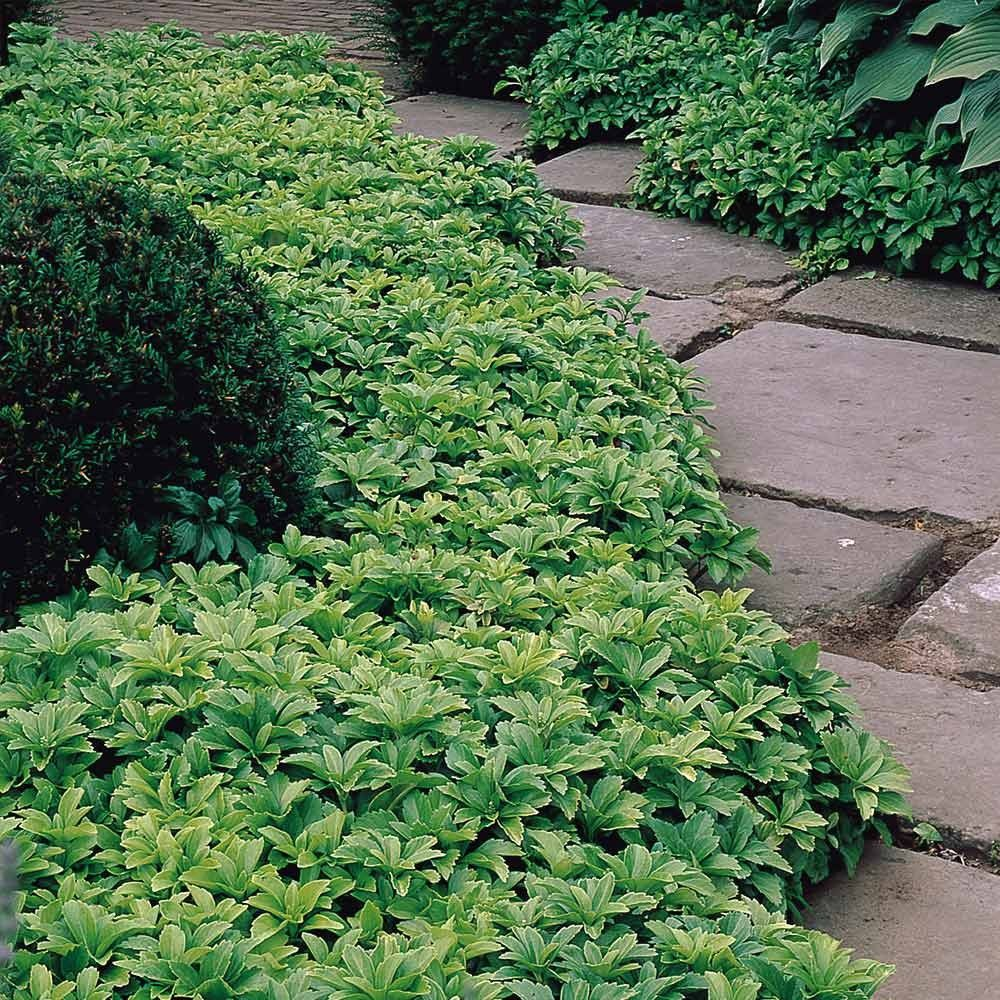 Pachysandra Terminalis Ground Cover Plants Shade Garden Plants